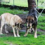 Hunde in der Herberge, die sind rießig !