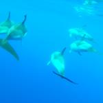 Gewöhnlicher Delfin oder auch Gemeiner Delfin (Schnappschuss aus dem Unterwasservideo)